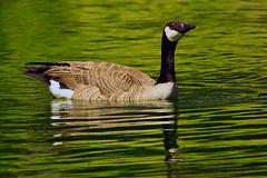 Canadian_Snow_Goose_01 (DonBantumPhotography.com) Tags: wildlife nature animals birds goose canadiansnowgoose donbantumphotographycom donbantumcom