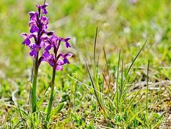 Die Wiese,  ein bedrohtes Paradies -  The meadow, a threatened paradise (cammino5) Tags: naturschutzgebiet halbtrockenrasen karlstadt rammersberg orchismorio kleinesknabenkraut orchidee april 2019 franken deutschland wiese
