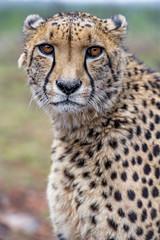 Sithle looking straight to me (Tambako the Jaguar) Tags: cheetah big wild cat male close portrait face looking standing posing cute beautiful lionsafaripark johannesburg southafrica nikon d5