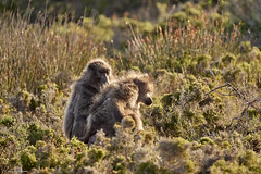 190314-174733_DC-G9_P1084376 (Nick Spix) Tags: wildlife animal vertebrate mammal primate baboon chacmababoon malgas westerncape southafrica