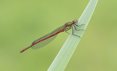Large Red Damselfly (Pyrrhosoma nymphula). (Bob Eade) Tags: largereddamselfly odonata wildlife waterlife rivercuckmere riverlife river damselfly insect pyrrhosomanymphula