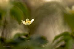 Anémone sylvie (vyclem78) Tags: anémonedesbois anémonesylvie anémonenémérosa fleur végétal printemps macrophotographie macro proxy yvetteclemenson