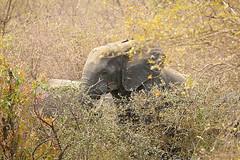 Savanna elephant, Mole National Park, Ghana (inyathi) Tags: africa westafrica ghana africananimals africanwildlife elephants africanelephants savannaelephants loxodontaafricana molenationalpark