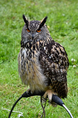 European Eagle Owl, Steam Rally, May Day 2019 (nathanlawrence785) Tags: birds bird prey falcon hawk owl steam rally 2019 spring summer flower bluebell tulip daffofil antrim glenarm