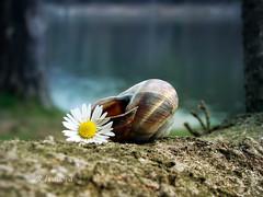 ... (R_Ivanova) Tags: nature macro flower outdoor sony spring colors color rivanova риванова природа пролет макро цветя растения цветно натюрморт вода