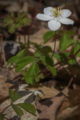 Enemion biternatum (Brett Whaley) Tags: 2019 elmcreeekpark enemionbiternatum falserueanemone hennepincounty may minnesota