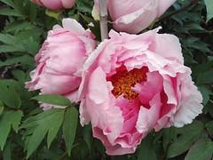 Peonie di Gigi (giòvanna) Tags: fiori peonie petali rosa bellezza profumo