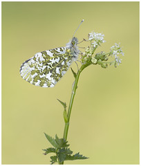 Orange Tip (nigel kiteley2011) Tags: orangetip anthochariscardamines butterfly butterflies lepidoptera nature macro canon 5dmk3 sigma180mm