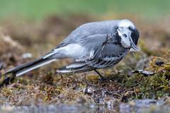 Bergeronnette grise (sfrancois73) Tags: oiseau bergeronnettegrise drinkstation affût