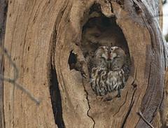 Tawny Owl (fire111) Tags: tawny owl bosuil sleeping tree bird birding wild wildlife photographing bos forrest