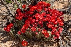Hedgehog cactus flowering (Squirrel Girl cbk) Tags: 2019 april echinocereusspp newmexico blooms blossoms colorful flowers hybrid hedgehogcactus explore