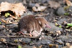 Common Shrew (Terry Angus) Tags: shrew commonshrew norden rochdale uk