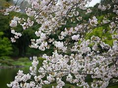 新宿御苑・桜の頃 Shinjukugyoen on Sakura season (Spicio) Tags: shinjukugyoen sakura tokyo japan lumixg425mmf17 dmcgf10 lumixgf10 東京 新宿御苑 桜