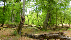 New Forest NP, Hampshire, UK (east med wanderer) Tags: england hampshire uk newforestnationalpark forest woodland nationalpark oak beech markashwood lyndhurst