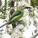 Northern Emerald-Toucanet, Aulacorhynchus prasinus Ascanio_Perija_GBD 199A0246