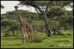 Mom and baby Giraffe (SpacePaparazzi.com) Tags: tanzania africa southeastafrica giraffes giraffe tarangire safari babyanimal spacepaparazzicom