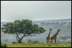 Giraffe with Acacia Tree (SpacePaparazzi.com) Tags: tanzania africa southeastafrica giraffes giraffe tarangire acaciatree landscape safari spacepaparazzicom