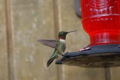 Filling Station (timvandenhoek1) Tags: rubythroatedhummingbird bird backyard sonyilce6000 smcpentaxm100mmf4macro timvandenhoek midwest missouri