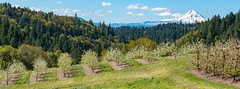 Orchard Overlooking Mt. Hood (Washington State Department of Agriculture) Tags: april klickitatcounty wsdagov washingtonstatedepartmentofagriculture agriculture blossoms orchard spring tree trees washington washingtonstate wsda