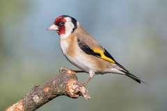 Goldfinch (sean4646) Tags: yellow