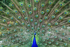 Be like a peacock and dance with all of your beauty - Debasish Mridha (Jason Khoo Photography) Tags: photoart photography naturesbest standardlens50mm color colour animal natgeo feathers peacock birds flickr nikon nikkor justphotos unlimitedphotos