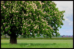 UNDER THE SPREADING CHESTNUT TREE (OLD GIT WITH A CAMERA) Tags: