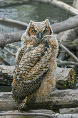 Wild great horned owlet (Mel Diotte) Tags: wild great horned owlet nature wing feathers mel diotte explore nikon d500