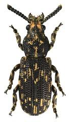 Anthribidae sp. (dries.marais) Tags: coleoptera anthribidae