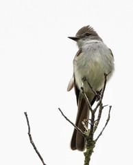 top of the tree (Mark.Swanson) Tags: bird flycatcher ashthroated utopia texas