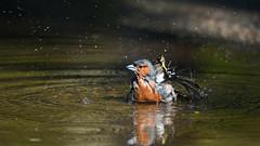 Купающийся зяблик (Yuriy Kuzmenok) Tags: природа птицы птица зяблик