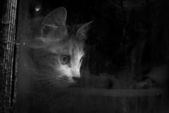 Toute petite N&B (leon.vaillat) Tags: chat cat minette regard moustaches beauté