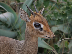 Cavendish's Dik-dik Madoqua [kirkii] cavendishi (nik.borrow) Tags: mammal dikdik antelope ndutu