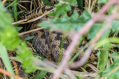 Adders - Viper berus - view 2 (Matchman Devon) Tags: south hams devon adder viper berus