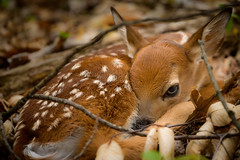Baby Bambi (Eric Tischler) Tags: baby deer fawn young ohio spring wildlife resting forest