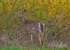 deer (daryl nicolet) Tags: deer whitetail wildlife shedding flowers nature animal animals canon 5dm3 daryl nicolet dnicpix sigma coth5 outside