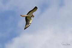 Swainson's Hawk (Stephen J Pollard (Loud Music Lover of Nature)) Tags: aguililladeswainson swainsonshawk raptor averapaz avedepresa birdofprey bird ave buteoswainsoni