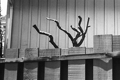 Dead wood (ADMurr) Tags: la hollywood hills oaks textured fence board batten pruned death leica m6 bw black white dab475 kodak400 50mm summicron