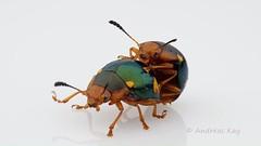 More Beetles coming soon! (Ecuador Megadiverso) Tags: beetle mating chrysomelidae ecuador andreaskay dorysternaeusema