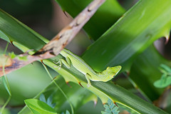 Cuban green anole (Anolis porcatus) - Holguín Province, Cuba - Feb 2019 (Dis da fi we) Tags: holguín province cuba cuban green anole anolis porcatus