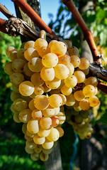 rafz_016_10102018_16'17 (eduard43) Tags: trauben grapes natur nature wein rafz 2018