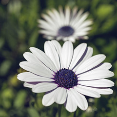Gerbera Daisy 2019-04-01 (5D_32A2387) (ajhaysom) Tags: gerberadaisy flower 100flowers2019 image55100 newsouthwales mttomah australia canoneos5dmkiii canon100mmlmacro