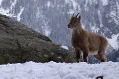 Jeune bouquetin - young mountain goat (CHAM BT) Tags: bouquetin rocher granit neige froid fourrure forêt corne montagne faune printemps rock snow cold fur woods mountain fantasticnature