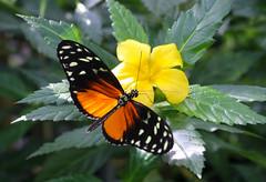 Vacances_0892 (Joanbrebo) Tags: mainau konstanz badenwürttemberg de deutschland canoneos80d eosd autofocus papallona papillon butterfly mariposa farfalle flors flores flowers fiori fleur blumen blossom