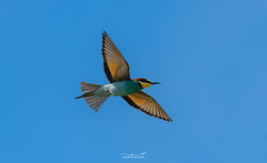 European Bee-Eater (Armin Kerstholt) Tags: wild wildlife wing wood early european beak feather perched perch nature sky flying photography sunrise portugal blue image bird nikon birds morning photograph algarve d850 exposure branch