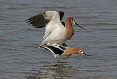 The Main Event (tomblandford) Tags: americanavocet avocet matingavocets wadingbirds recurvirostraamericana shorebird cornelllab audubonbirds cheyennebottoms natureconservancy kansasbirding kansaswetlands wildlifeofthewest nature conservation protecttheenvironment protectpubliclands protectwildlife