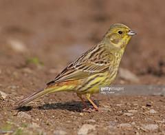 Yellowhammer  female (Gary Chalker, Thanks for over 4,000,000. views) Tags: yellowhammer female bird pentax pentaxk3ii k3ii pentaxfa600mmf4edif fa600mmf4edif fa600mm 600mm