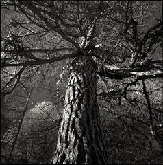 38. (ionatura) Tags: larix decidua hasselblad 500c planar 80mm t d76 11 southern tyrol tree mountain forest red filter
