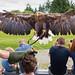 Eagles Flying, Sligo, Ireland - July 13th 2017.  A white-tailed eagle (Haliaeetus albicilla), also known as the Ern, Grey Sea Eagle and Eurasian Sea Eagle makes a landing