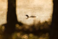 Kaakkuri - Gavia stellata (mustohe) Tags: 2019 finland repovedenkansallispuisto repovesinationalpark kevät spring canon canon7d bird lintu kaakkuri gaviastellata aamu morning auringonnousu sunrise järvi lake sumu mist