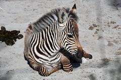 equus quagga (Joachim S. Müller) Tags: zebra equusquagga equus huftier ungulate säugetier mammal tier animal zoo zookarlsruhe karlsruhe badenwürttemberg deutschland germany